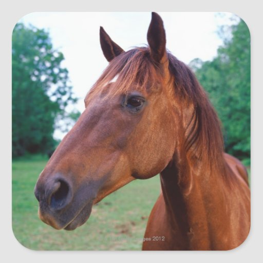 Brown horse, close-up square sticker