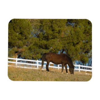 Brown Horse Grazing Magnet