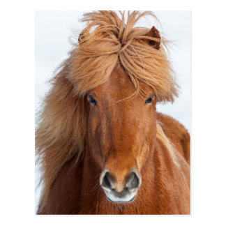 Brown Icelandic Horse Portrait Postcard
