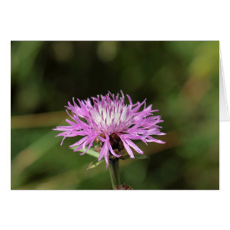 Brown Knapweed (Centaurea jacea). Card