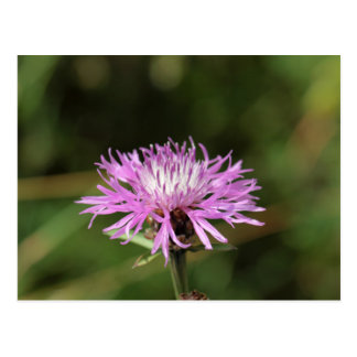 Brown Knapweed (Centaurea jacea). Postcard
