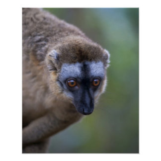 Brown lemur (Eulemur fulvus) in the forest 2 Poster