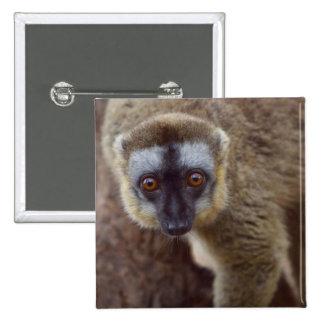 Brown lemur (Eulemur fulvus) in the forest Pinback Button