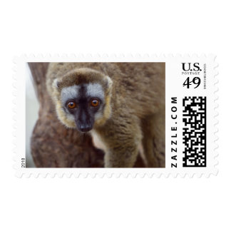 Brown lemur (Eulemur fulvus) in the forest Postage