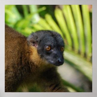 Brown Lemur Poster