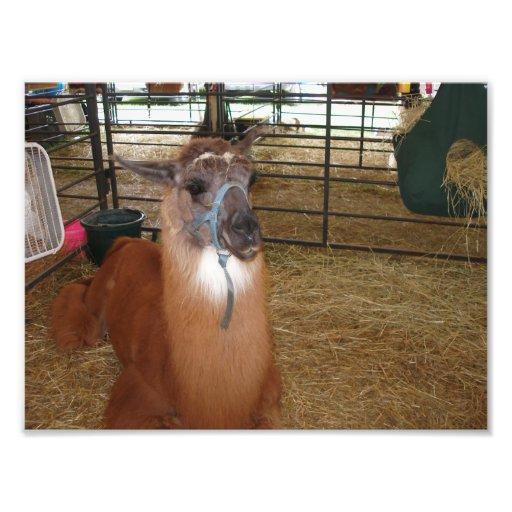 Brown Llama Facing Forward Laying in Hay Photo Print