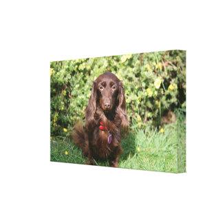 Brown Long-haired Miniature Dachshund Canvas Print
