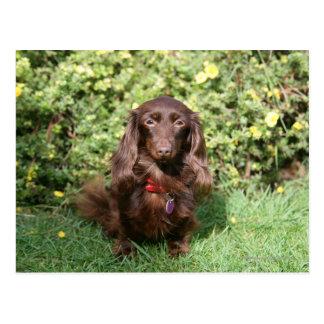 Brown Long-haired Miniature Dachshund Postcard