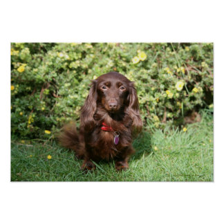 Brown Long-haired Miniature Dachshund Poster