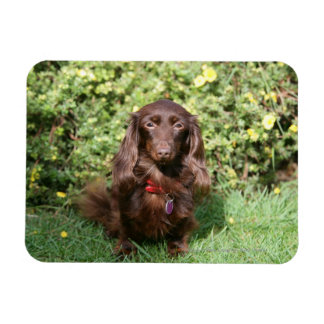 Brown Long-haired Miniature Dachshund Rectangular Photo Magnet