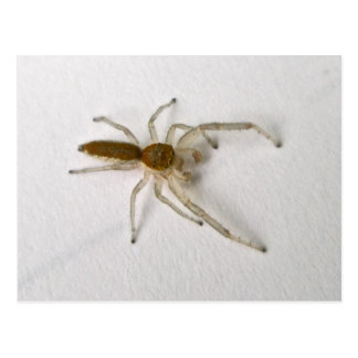 Brown Male Jumping Spider Series Matching Items Postcard
