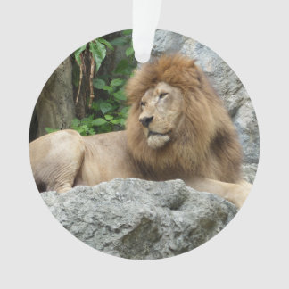 brown Male Lion with large mane Lays on Rock ledge