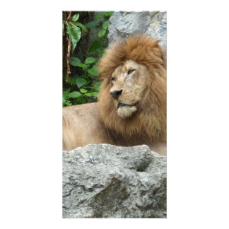 brown Male Lion with large mane Lays on Rock ledge Customized Photo Card