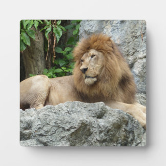 brown Male Lion with large mane Lays on Rock ledge Plaque
