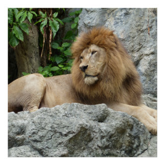 brown Male Lion with large mane Lays on Rock ledge Poster