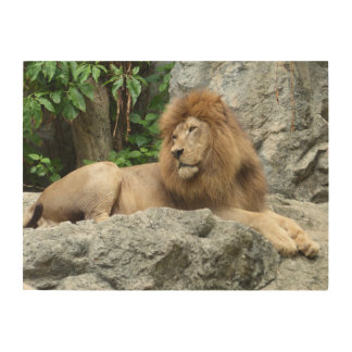brown Male Lion with large mane Lays on Rock ledge Wood Print