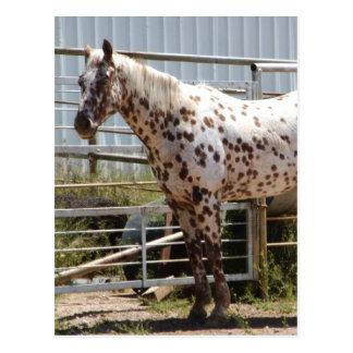 Brown manchó el caballo del Appaloosa Tarjeta Postal