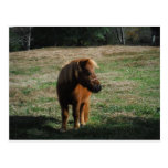 Brown Miniature Horses Post Card