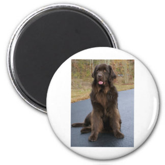 Brown Newfie Magnets