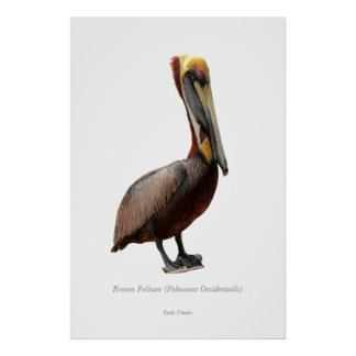 Brown Pelican - 1 Print
