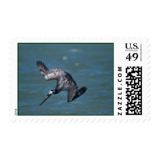 Brown Pelican diving in flight Rockport Texas Postage Stamp