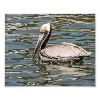 Brown Pelican Floating Photography Print