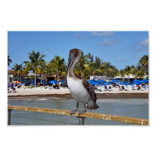 Brown Pelican, Higgs Beach, Key West, Florida Poster
