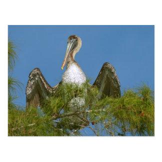 Brown Pelican in a Pine Tree Postcard