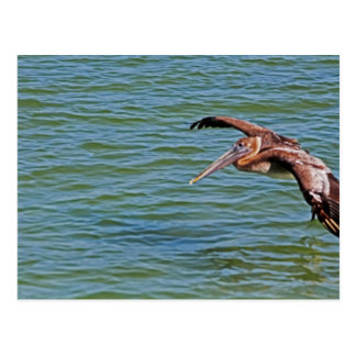 Brown Pelican in flight Postcard
