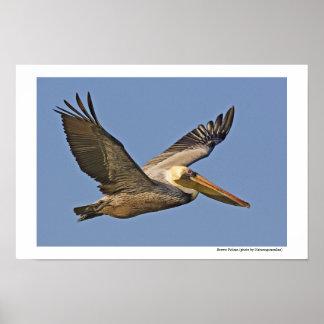 Brown Pelican in flight Poster