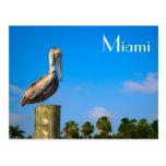 Brown Pelican in Miami - Postcard