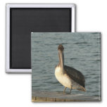 Brown pelican. magnet