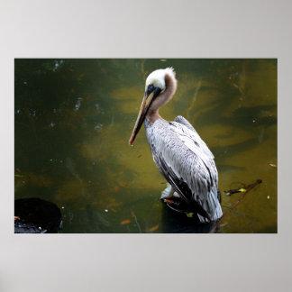 brown pelican near green water fish swimming poster