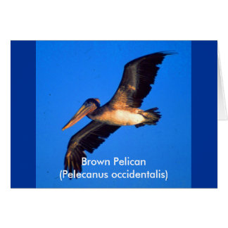 Brown Pelican (Pelecanus occidentalis) Card
