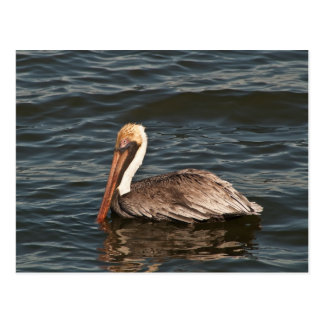 Brown Pelican (Pelecanus occidentalis) Postcard