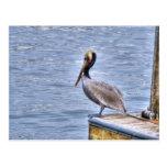 Brown Pelican Post Cards