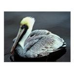 Brown Pelican Postcard