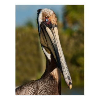 Brown Pelican Postcard