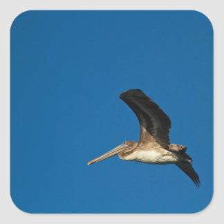 Brown Pelican Square Sticker
