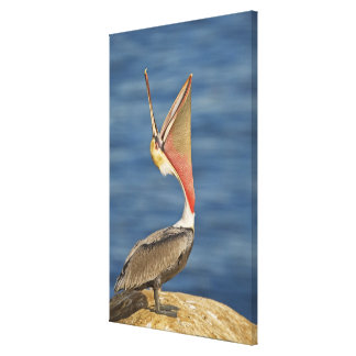 Brown Pelican with mouth open Canvas Print