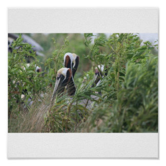 brown pelicans in bushes poster
