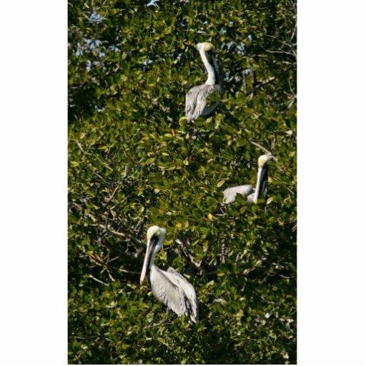 Brown pelicans in mangrove tree cut out