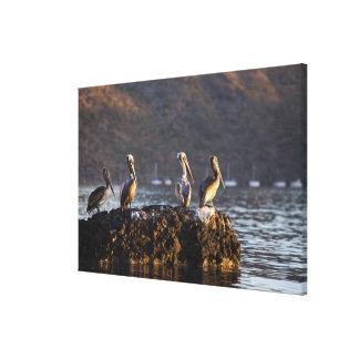 Brown pelicans on rock in Puerto Escondido near Canvas Print