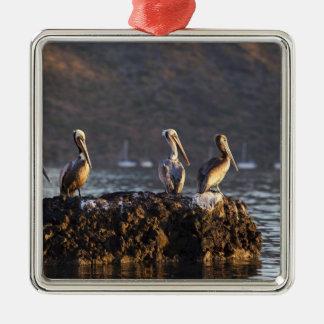 Brown pelicans on rock in Puerto Escondido near Metal Ornament