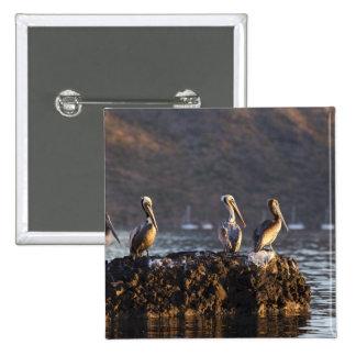 Brown pelicans on rock in Puerto Escondido near Pinback Button
