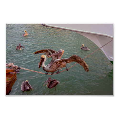 Brown Pelicans Squabble in Florida Poster