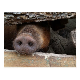 Brown Pig Poking Snout through Rustic Fence Postcard