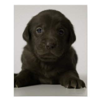 Brown puppy, portrait, close-up poster