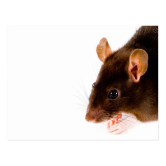 Brown Rat Postcard