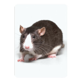 Brown Rat With White Blaze On Nose Card